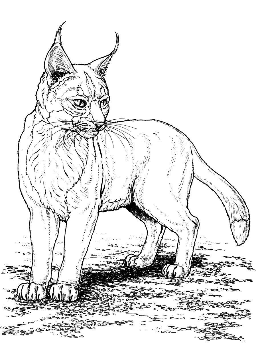 раскраска дикие кошки