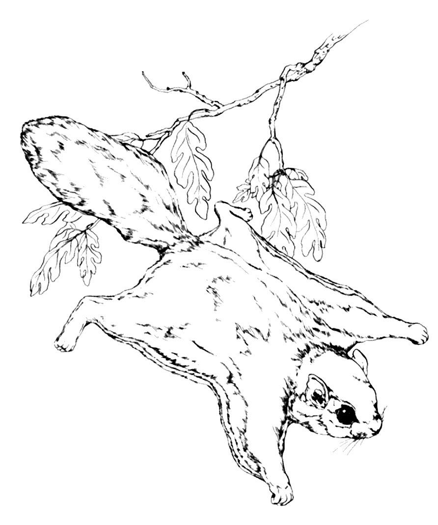 раскраска белка летяга