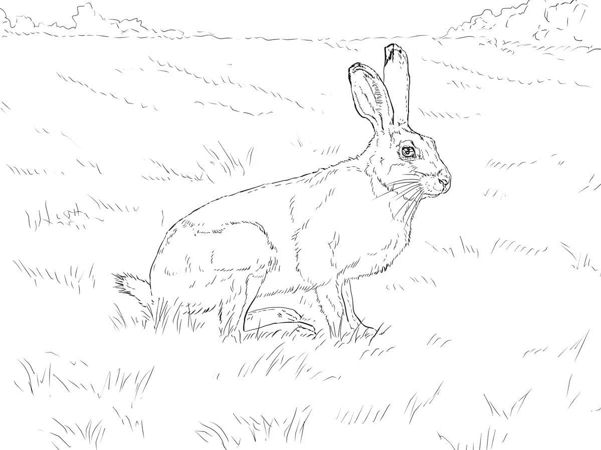 раскраска заяц беляк